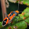 Melanerythrus mactans - Seed-eating Bug