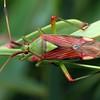 Pseudopantilius australis