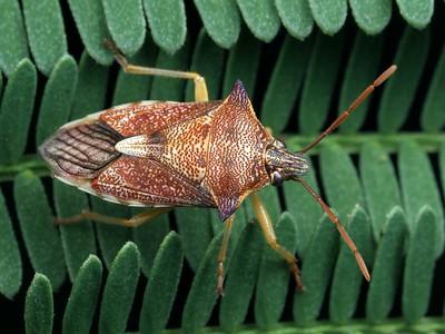 subfamily Asopinae - Predatory Stink Bugs