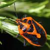 Agonoscelis rutila - Horehound Bug