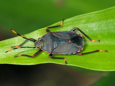 Pentatomidae - Stink Bugs & Shield Bugs