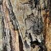 Anchises sulcicornis
