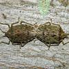 Bathrus variegatus