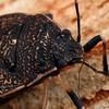 Platycoris sp. (possibly P. bipunctatus)