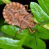 Tinganina dimorpha