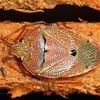 possible Poecilometis sp.