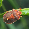 Dictyotis sp.