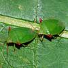 Cuspicona forticornis