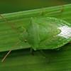 Cuspicona simplex - Green Potato Bug