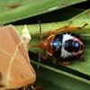 Unknown sp. (Asopinae?)
