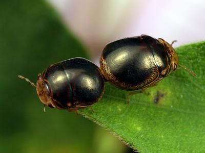 Plataspidae
