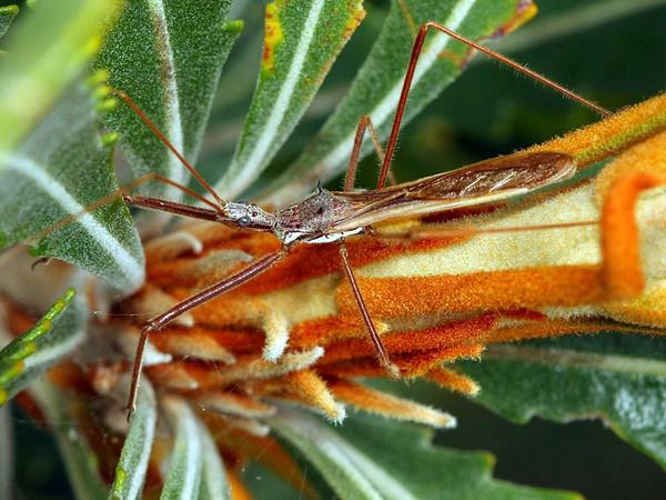 Australcmena lineativentris