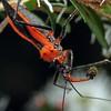 Gminatus australis