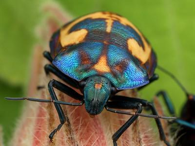 True Bugs - order Hemiptera (suborder Heteroptera)
