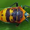 Cantao parentum - Mallotus Harlequin Bug