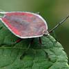 Lyramorpha rosea - Lychee Stink Bug