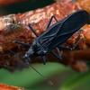 Oncophysa vesiculata nigra