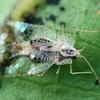 Stephanitis pyrioides - Azalea Lace Bug