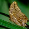 Tamarindi Owlet (Opsiphanes tamarindi)