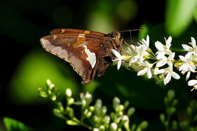 Butterflies Love Privet Blooms