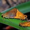 Cephrenes augiades - Orange Palm-dart