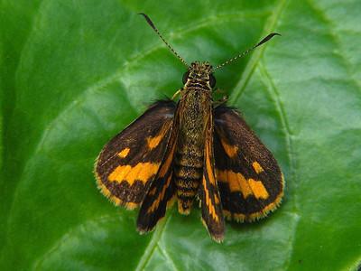 Hesperiidae - Skippers and Darters