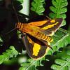 Arrhenes marnas - Swamp Darter