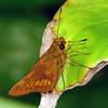 Cephrenes augiades - Orange Palm-dart (male)