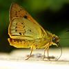 Cephrenes trichopepla - Yellow Palm-dart (female)