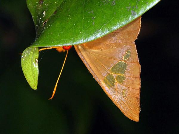 Chaetocneme beata - Common Red-eye