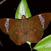 Chaetocneme beata - Common Red-eye (female)