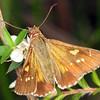 Hesperilla donnysa - Varied Sedge-skipper