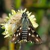 Hesperilla ornata - Spotted Sedge-skipper