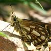 Anisynta tillyardi - Chequered Grass-skipper