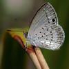 Candalides erinus - Small Dusky-blue