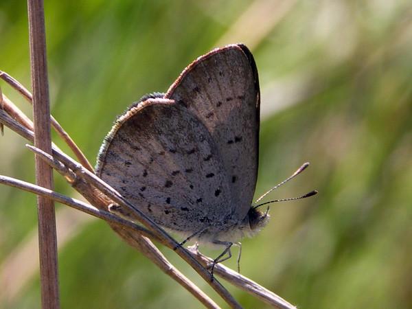 Candalides acasta - Blotched Dusky-blue