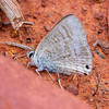 Lampides boeticus - Long-tailed Pea Blue