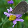 Zizina labridus - Common Grass-blue