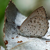 Candalides hyacinthina - Varied Dusky-blue (female)