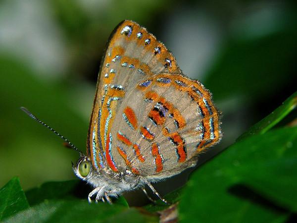 Hypochrysops miskini - Coral Jewel