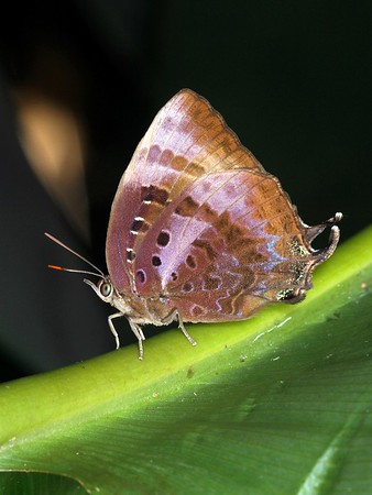 Arhopala micale - Shining Oak-blue