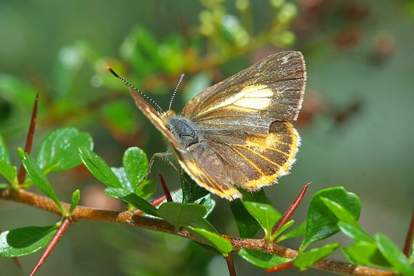 Hypochrysops byzos - Yellow Jewel (female)