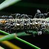 Pseudalmenus chlorinda - Silky Hairstreak (larva)