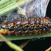 Jalmenus evagoras evagoras - Imperial Hairstreak (larva)