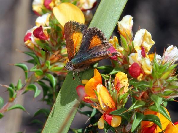 Paralucia aurifer - Bright Copper