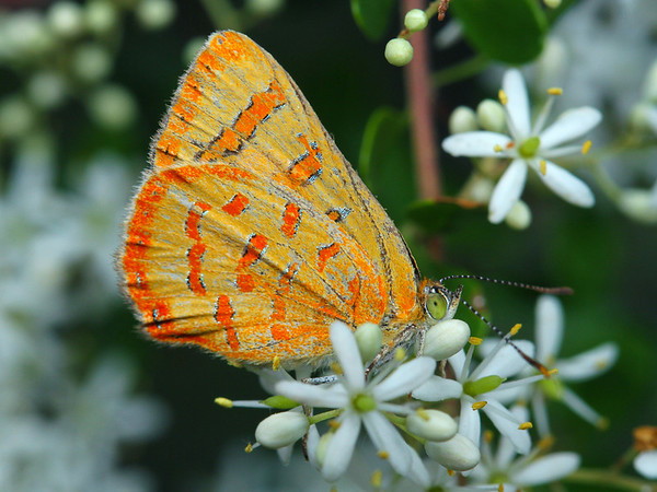Hypochrysops byzos - Yellow Jewel