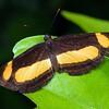 Pantoporia consimilis - Orange Plane