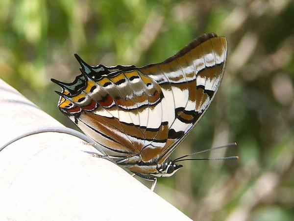 Polyura sempronius - Tailed Emperor (male)
