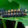 Acraea andromacha - Glasswing (larvae)