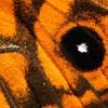 Geitoneura acantha - Ringed Xenica